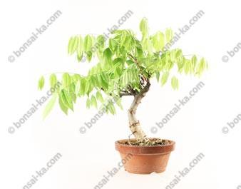 Glycine du Japon wisteria floribunda prébonsaï 28 cm ref.18357