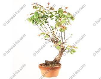 Prunus Mume abricotier du Japon prébonsaï floraison rose 25 cm ref.18360
