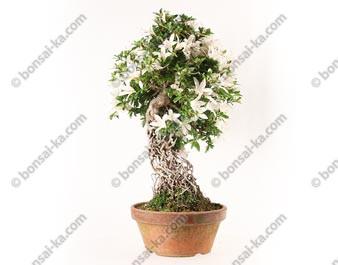 Azalée satsuki Seiko Rhododendron Indicum neagari bonsaï import 2018 ref.18405