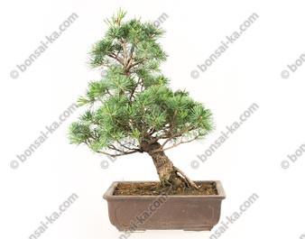 Pin blanc du Japon pinus parviflora bonsaï 45 cm ref.18423