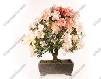 Azalée satsuki Miharu bonsaï import 2018 ref.18427