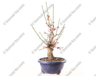 Prunus Mume abricotier du Japon prébonsaï floraison rose 23 cm ref.19003