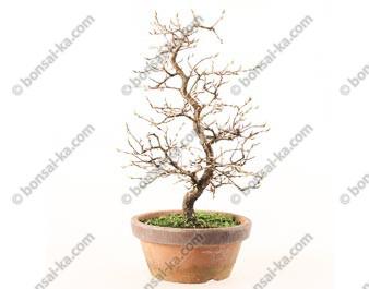 Charme du Japon carpinus turczaninowii bonsaï 28 cm ref.19040