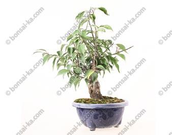 Prunus Mume abricotier du Japon prébonsaï floraison rose 30 cm ref.19045
