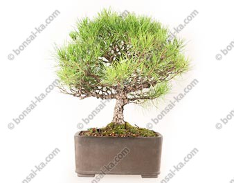 Pin rouge du japon pinus densiflora bonsaï import Japon 46 cm ref.19058