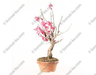 Prunus Mume abricotier du Japon prébonsaï floraison rose 30 cm ref.19061