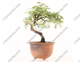 Osteomeles subrotunda shohin bonsaï 23 cm ref.19080
