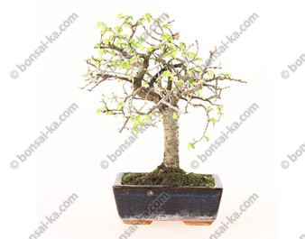 Orme de Chine ulmus parvifolia bonsai semi-acclimaté ref.19086