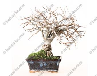 Orme de Chine ulmus parvifolia bonsai semi-acclimaté ref.19090