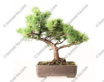 Pin blanc du Japon pinus parviflora bonsaï 46 cm ref.19100