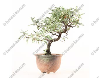 Osteomeles subrotunda shohin bonsaï 24 cm ref.19101