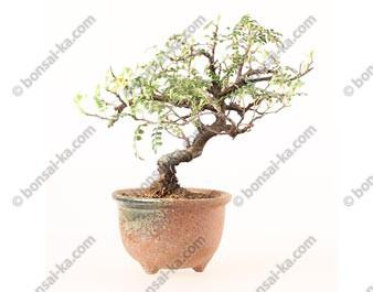 Osteomeles subrotunda shohin bonsaï 22 cm ref.19102