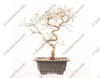 Charme de Corée carpinus coreana prébonsaï 29 cm ref.19110