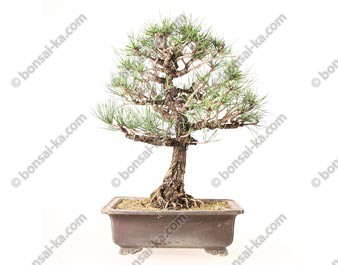 Pin noir du Japon pinus thunbergii Kuro Matsu bonsai 49 cm import Japon 2018 ref.19125