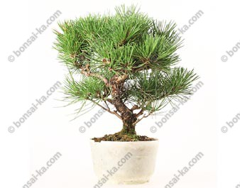 Pin noir du Japon pinus thunbergii Kuro Matsu prébonsai 26 cm import Japon 2019 ref.19160