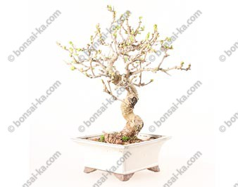 Murier noir morus nigra bonsaï 40 cm ref.19189