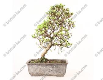Azalée satsuki Rhododendron Indicum prébonsaï 38cm import Japon 2019 ref.19194