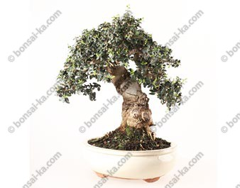 Olivier sauvage bonsai olea europaea sylvestris 40 cm ref.19199