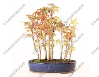 Groupe d'acer palmatum Yamamomiji 11 plants import Japon 2019 ref.19205