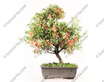 Azalée satsuki Rhododendron Indicum prébonsaï 44 cm import Japon 2019 ref.19230
