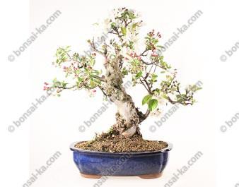 Pommier Van Eseltine bonsaï 58 cm ref.19236