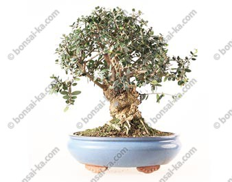 Olivier sauvage bonsai olea europaea sylvestris 36 cm ref.19240