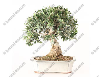 Olivier sauvage bonsaï olea europaea sylvestris 37 cm ref.19246