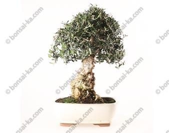 Olivier sauvage bonsaï olea europaea sylvestris 48 cm ref.19249