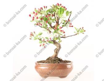 Pommier Van Eseltine bonsaï 34 cm ref.19257