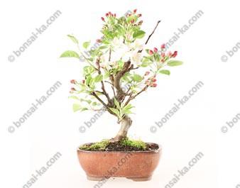 Pommier Van Eseltine bonsaï 35 cm ref.19260