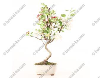 Pommier Van Eseltine bonsaï 45 cm ref.19265