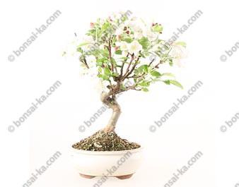 Pommier Van Eseltine bonsaï 38 cm ref.19271