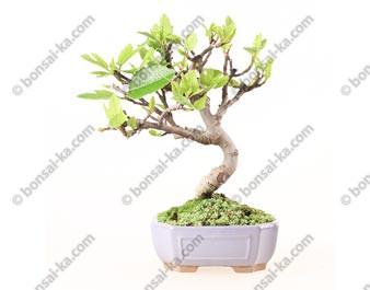Figuier ficus carica bonsaï 33 cm ref.19276