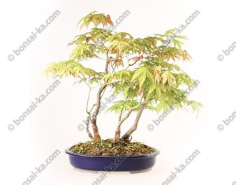 Groupe d'acer palmatum 5 plants 49 cm import Japon 2019 ref.19295