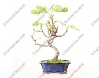 Figuier ficus carica bonsaï 38 cm ref.19299