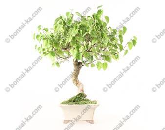 Murier noir morus nigra bonsaï 45 cm ref.19302