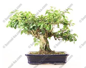 Troène de Chine import Indonésie bonsaï 15 ans 27 cm ref.19303