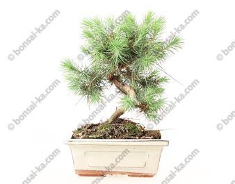 Pin blanc de Provence pinus halepensis bonsaï 7 ans 24 cm ref.19307
