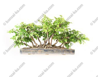 Charme de Corée carpinus coreana bonsaï yose-ue 35 cm import Corée 2019 ref.19315
