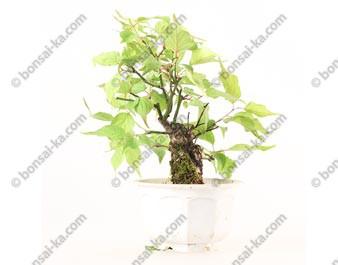 Prunus Mume abricotier du Japon prébonsaï 15 cm ref.19317