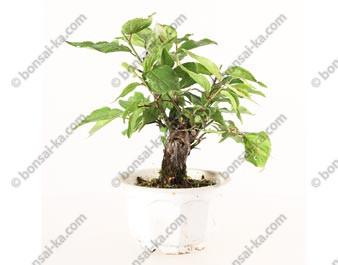 Prunus Mume abricotier du Japon prébonsaï 15 cm ref.19332