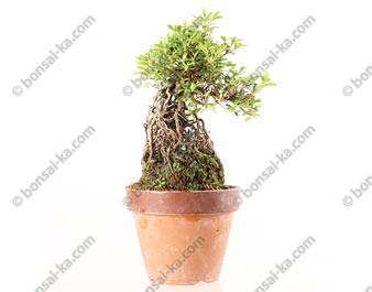 Azalée satsuki Seiko neagari shohin bonsaï import 2019 ref.19342
