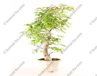 Chêne du Japon quercus acutissima prébonsaï import 2019 35 cm ref.19356