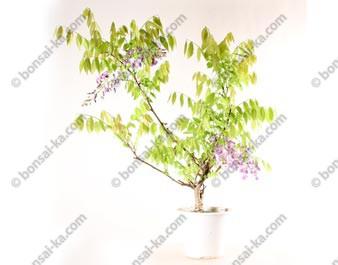 Glycine du Japon wisteria floribunda prébonsaï 60 cm ref.19363