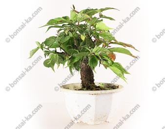Prunus Mume abricotier du Japon prébonsaï 17 cm ref.19368