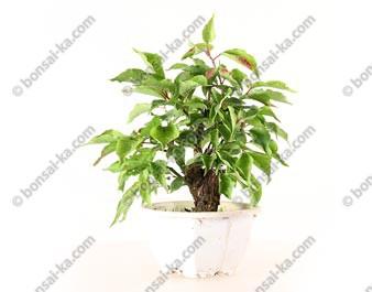 Prunus Mume abricotier du Japon prébonsaï 16 cm ref.19375