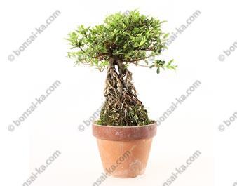 Azalée satsuki Seiko neagari shohin bonsaï import 2019 ref.19384