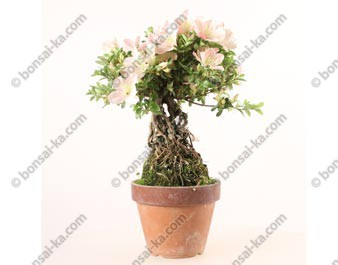 Azalée satsuki Seiko Rhododendron Indicum neagari shohin bonsaï import 2019 ref.19384