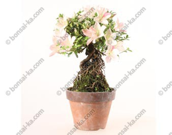 Azalée satsuki Seiko neagari shohin bonsaï import 2019 ref.19385