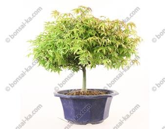 Érable du Japon Kiyohime acer palmatum prébonsaï 25 cm import Japon ref.19386